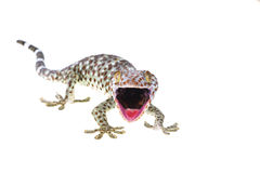 Gecko. Large Gecko isolated on white background Royalty Free Stock Photo