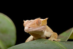 Gecko on leaf. New Caledonian Crested Gecko on leaf royalty free stock photo