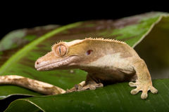 Gecko on leaf. New Caledonian Crested Gecko on leaf royalty free stock photos