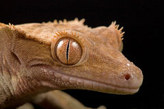 Gecko on leaf. Close up view of a New Caledonian Crested Gecko royalty free stock images