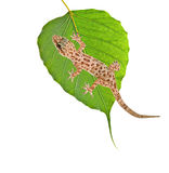 Gecko on leaf Stock Photography