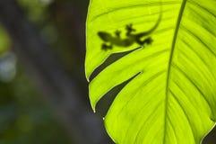 Gecko on a leaf. A shadow of a lizard sitting on a tropical leaf Stock Photos