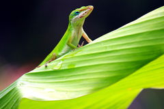 Gecko On Leaf  Royalty Free Stock Photography