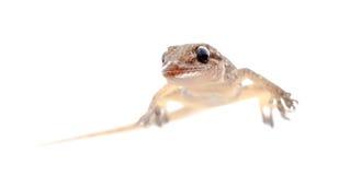 Gecko leaftoed oriental chino fotos de archivo libres de regalías