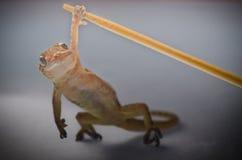 Gecko leaftoed orientale cinese fotografie stock libere da diritti