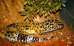 Gecko leopard. Colorful gecko leopard sitting on the sandy surface, looks calm stock photography