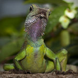 Gecko Leopard Stock Images