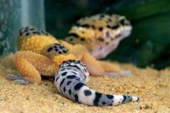 gecko leopard Στοκ Εικόνα
