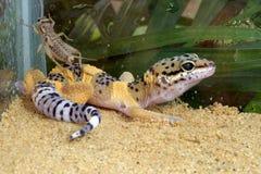 gecko leopard Στοκ εικόνες με δικαίωμα ελεύθερης χρήσης