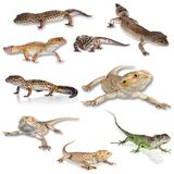 Gecko. Leopard  Reptile Lizard Isolated Spotted Pets stock photos