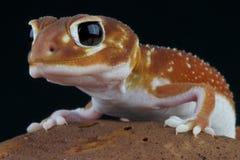 Gecko/levis de Nephrurus coupés la queue par bouton images libres de droits