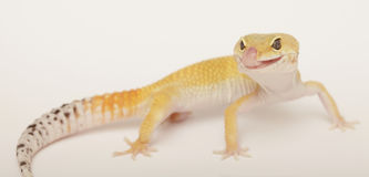 Gecko licking his lips Stock Photos
