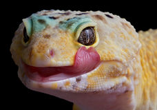 Gecko licking lips. A leopard gecko is licking his lips stock photo
