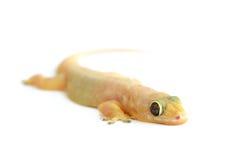Gecko. Liten ödla. Fotografering för Bildbyråer