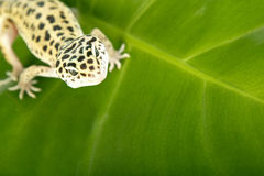 Gecko lizard Royalty Free Stock Photo