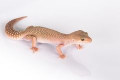 Gecko lizard Royalty Free Stock Images
