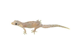 Gecko lizard royalty free stock photos