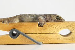 Gecko Lizard and Clothespi Stock Photography