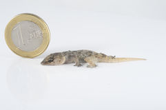 Gecko Lizard and Coin Stock Images