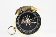 Gecko Lizard and Compass. One Small Gecko Lizard and Compass on a White Background stock photography
