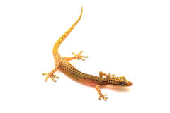 Gecko lizard isolated on white. Gecko lizard from trpical forest isolated on white background, Hemiphyllodactylus sp royalty free stock images