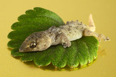 Gecko Lizard and Leaf Stock Photography