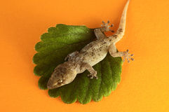 Gecko Lizard and Leaf Stock Photos