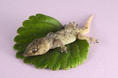 Gecko Lizard and Leaf Royalty Free Stock Photography