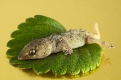Gecko Lizard and Leaf Stock Images