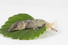 Gecko Lizard and Leaf Stock Image