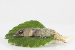 Gecko Lizard and Leaf Royalty Free Stock Image