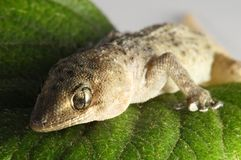 Gecko Lizard and Leaf Royalty Free Stock Images