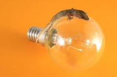 Gecko Lizard and Light Bulb Stock Images