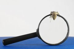 Gecko Lizard and Loupe Royalty Free Stock Photo