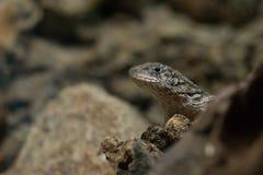 Gecko lizard in natural habitat close-up Stock Photos
