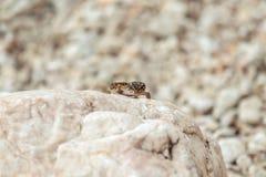 Gecko lizard on rocks Stock Photo
