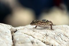 Gecko lizard on rocks Stock Photos