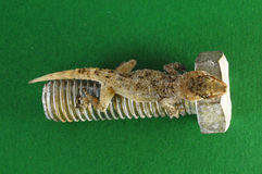 Gecko Lizard and Screw Stock Photos