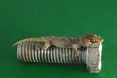 Gecko Lizard and Screw Stock Photos