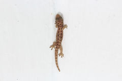 Gecko lizard. On white wall Royalty Free Stock Images