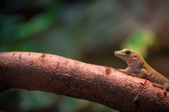 Gecko lizard Stock Photos