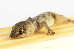 Gecko Lizard and Wood Stock Image
