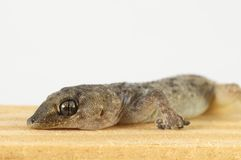 Gecko Lizard and Wood Stock Photography