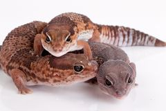 Gecko lizards. Fat tailed gecko lizards on white background royalty free stock photos