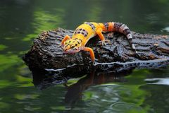 Beautiful leopard gecko in reflection. Gecko lizards that are thirsty drinking on the water`s edgen Royalty Free Stock Photo