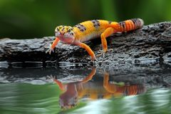 Beautiful Leopard gecko in reflection. Gecko lizards that are thirsty drinking on the water`s edgen stock image
