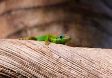 Gecko looking Stock Photo