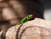 Gecko looking and showing tongue Royalty Free Stock Photos