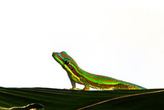 Gecko looking Royalty Free Stock Photography