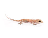Gecko lurking. Studio shot of gecko isolated on white Royalty Free Stock Photo
